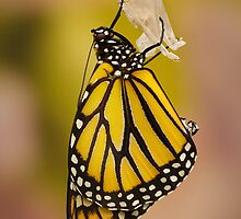 Monarch Butterfly by christopher schlaf