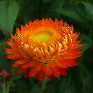 Orange Helichrysum at Harmony Garden by Babz Runcie