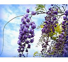 Elegant bunches of wisteria Photographic Print