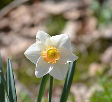 Narcissus by Imagery