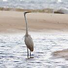 Egret Wading - Bribie Island  by Stephen Quennell