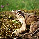Agile Frog ( Rana dalmatina) by Istvan froghunter