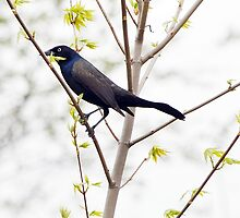 A Common Grackle by April May Maple