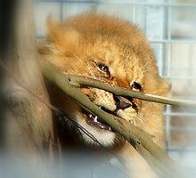 Boy Oh Boy Teething Is A Pain!! - Lion Cub - Orana Wildlife Park - CHC NZ by AndreaEL