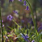 Bluebells by Jennifer Bradford