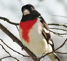 Rose-breasted Grosbeak by lorilee