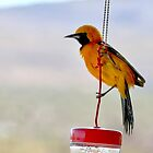 Hooded Oriole 002  by RichardKlos