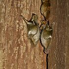 Colugo Family - Langkawi by Colin  Ewington