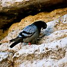 Bird on the Wailing Wall in Jerusalem by Carol Clifford