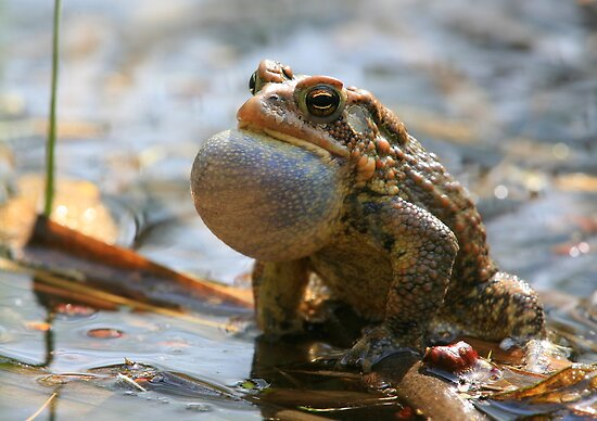 American Toad Croaking by naturalnomad