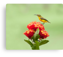 Another little sweety - sunbird in my Etty Bay garden. Canvas Print