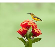 Another little sweety - sunbird in my Etty Bay garden. Photographic Print