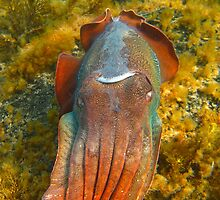 Giant Cuttlefish Blushing by naturalnomad