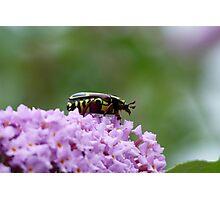 Fiddle Beetle, Eupoecila australasiae Photographic Print