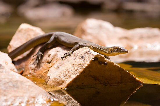 water lizard by Les Pink