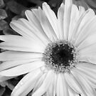 Daisy Desaturated - Gerber in black and white by Betty Northcutt