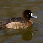 Mrs. Scaup by Jeff Weymier