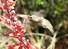 Anna's Hummingbird ~ Nippin' the Nectar by Kimberly Chadwick