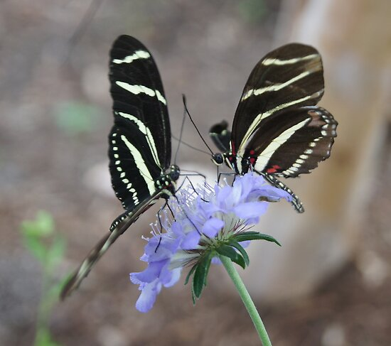 Zebra Longwing Butterflies... by BLemley