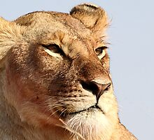 African Lion, Serengeti, Tanzania  by Carole-Anne