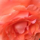 Macro of a Peach Rose in Full Bloom: Hope You Enjoy  by Rusty Gentry