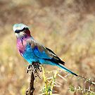 Lilac Breasted Roller, Serengeti, Tanzania  by Carole-Anne