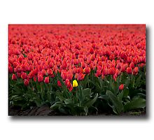 ..if Women are like Tulips.. Photographic Print
