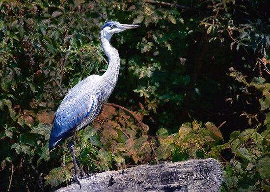 Blue Heron by Elaine  Manley