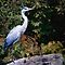 Blue Heron by Elaine  Manley