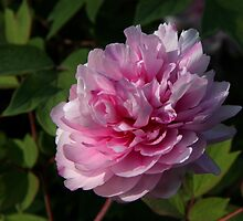 Softness in pink by annalisa bianchetti