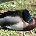 Sleepy Duck by Amrita Neelakantan