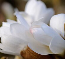 Magnolia buds, The Rower, County Kilkenny, Ireland by Andrew Jones