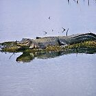 Alligator by Robert Brown