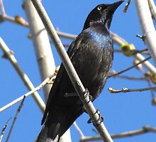 Common grackle (Quiscalus quiscula) by hummingbirds