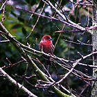House Finch - Corte Madera, Marin County, CA by Rebel Kreklow