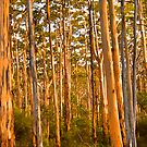 Sunlit Trunks- Boranup Forest - Leeuwin National Park WA by Chris Paddick