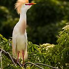 Cute Cattle Egret by Kathy Cline