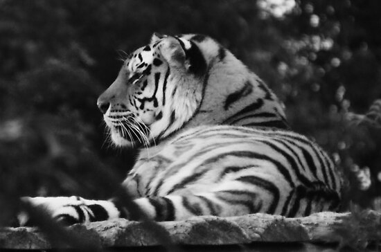 Peaceful Tiger by KAGPhotography