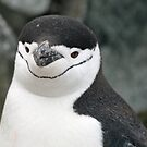 Chinstrap penguin 15 by rhallam