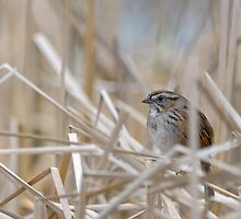Shy Swamp Sparrow by Heather Pickard