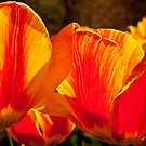 Tulip Fire by browncardinal8