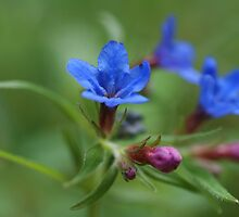 Purple Gromwell by marens