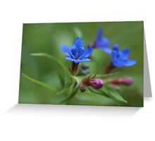 Purple Gromwell Greeting Card