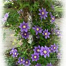 Clematis Climb by Virginian Photography (Judy)