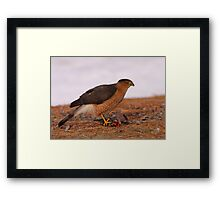 Feathered Feast/Cooper's Hawk Framed Print