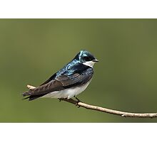Tree Swallow Photographic Print