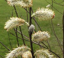 Pussy willow:  I want to go up to be just like you! by ChipperP
