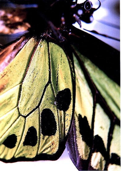 butterfly wing by sarahwheaton