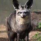 Bat-eared Fox (Otocyon megalotis) by RCTrotman