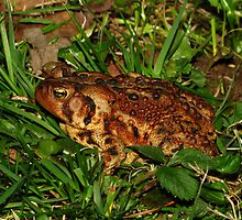 A Closeup of an American Toad by Robert Miesner